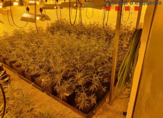 plantes de marihuana